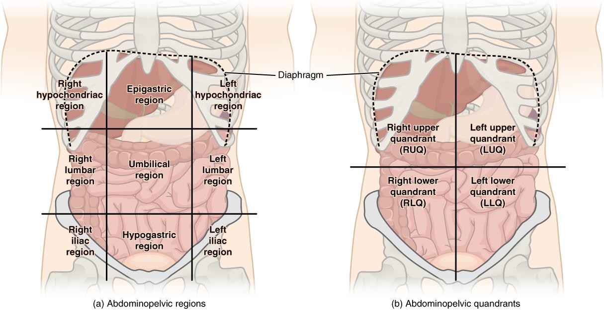 Chronic abdomen pain fall general surgery llc regions of the abdomen ccuart Gallery